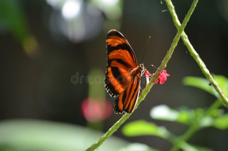 Uroczy Pomarańczowy Dębowy tygrys w wiośnie obrazy stock