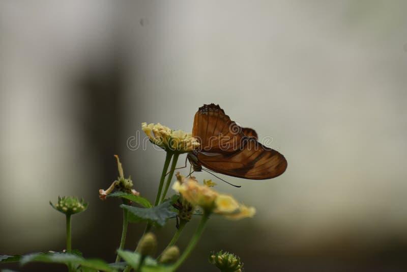 Uroczy Pomarańczowy zatoki Fritillary motyl W naturze zdjęcia royalty free