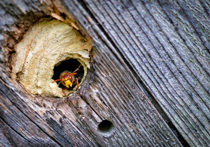 Uroczy pszczoła pastuch wejściem rój zdjęcia royalty free