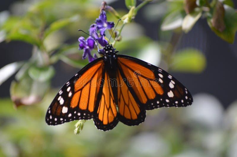 Uroczy Rozprzestrzenia Out skrzydła namiestnika motyl fotografia royalty free