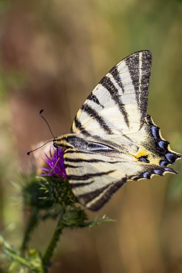 Uroczy Rzadki swallowtail, Iphiclides podalirius motyl na Dojnego osetu flowerhead zdjęcie stock