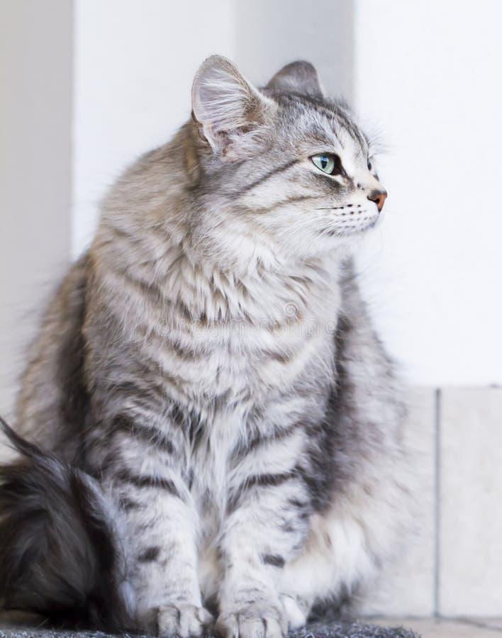 Uroczy srebny kot w domu, żeński siberian traken zdjęcia stock