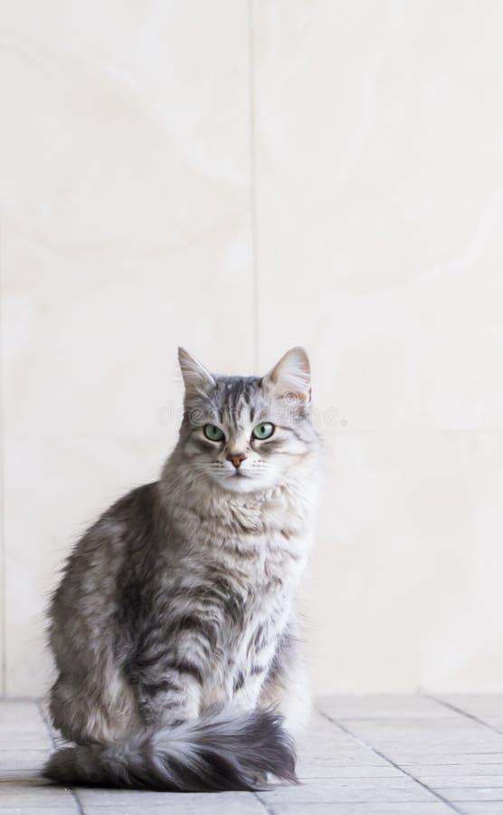 Uroczy srebny kot w domu, żeński siberian traken obraz royalty free