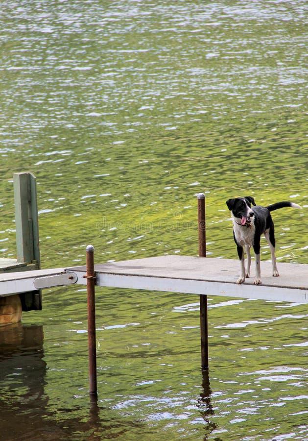 Uroczy szczeniak out na doku, mokry i szczęśliwy od dopłynięcia zdjęcie stock