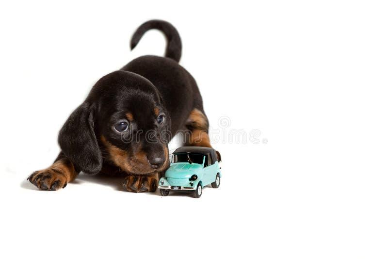 Uroczy szczeniaka psa jamnika lying on the beach z samochód zabawką odizolowywającą na białym tle fotografia stock