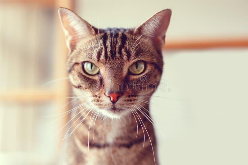 uroczy tabby kot siedzi patrzeć w kamerze z lampasami i żółtymi zielonymi oczami zdjęcie stock