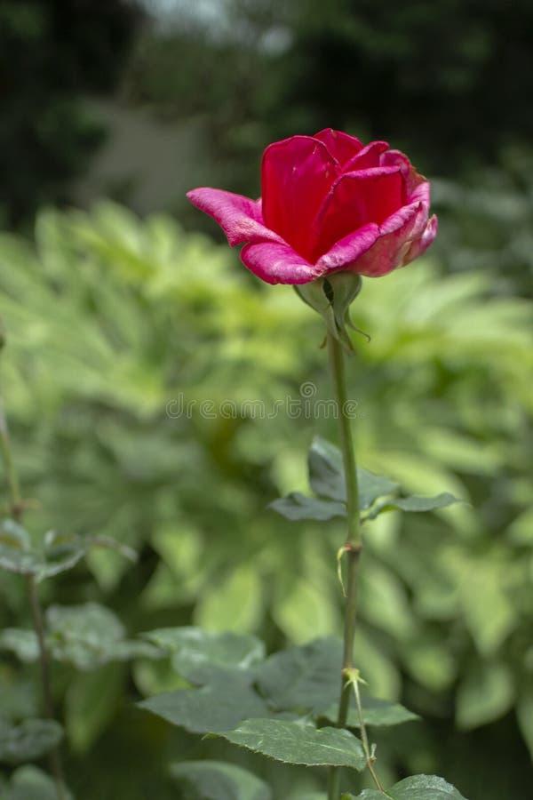 Uroczy Tropikalny Czerwony kwiat z Bokeh tłem obraz royalty free