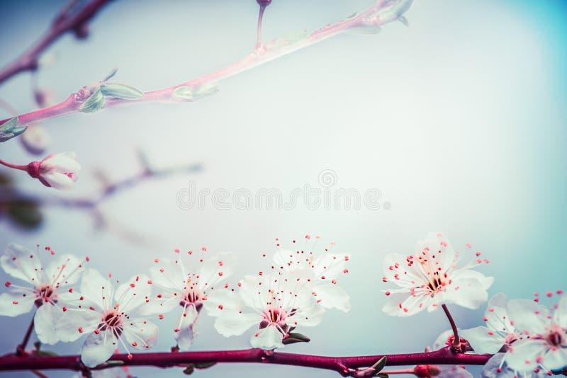 Uroczy wiosny okwitnięcie wiśnia przy turkusowym niebieskiego nieba tłem natura plenerowa obrazy stock