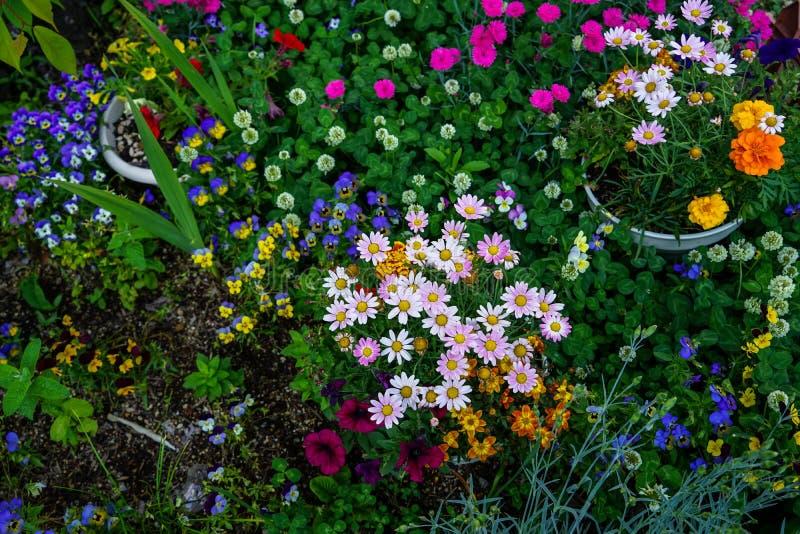 Uroczych kolorowych kwitnących małych wiosna kwiatów odgórny widok z zieleń liśćmi i glebowym tłem zdjęcia stock