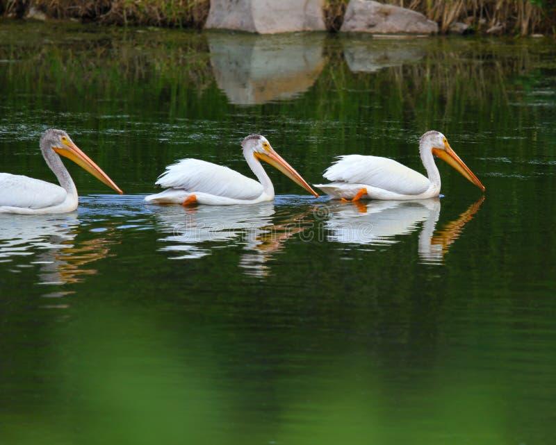 uroczysty np pelikana teton biel obraz royalty free