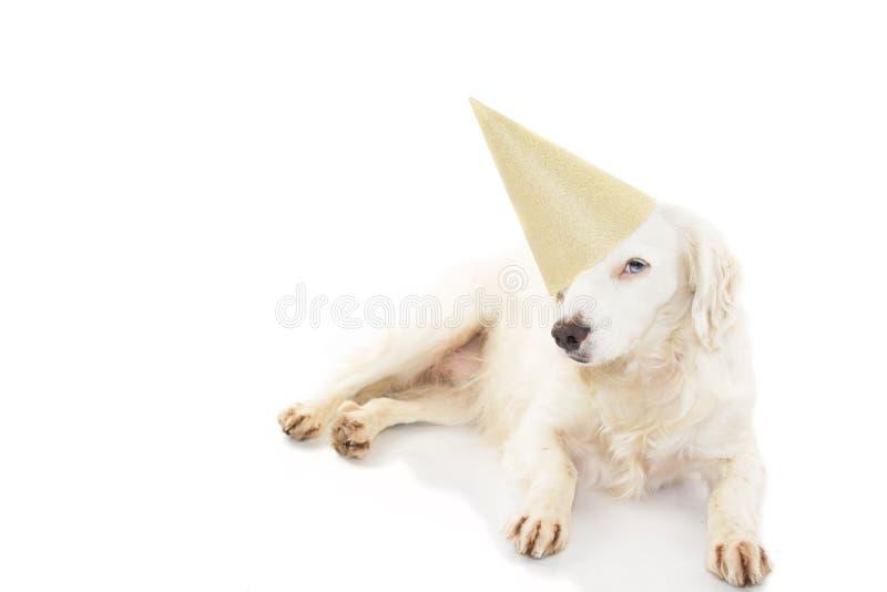 URODZINY LUB nowego roku psa przyjęcia kapelusz PIĘKNY szczeniak JEST UBRANYM ZŁOTEGO PARTYJNEGO KAPELUSZOWEGO ŁGARSKIEGO puszek  zdjęcie stock