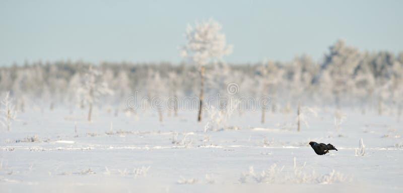 Urogallo negro en la nieve imágenes de archivo libres de regalías