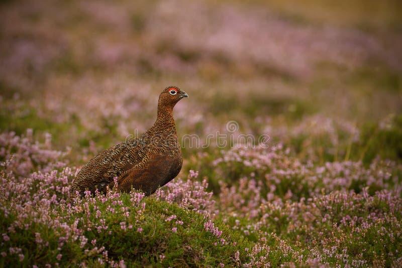 Urogallo su Yorkshire Moorland fotografie stock