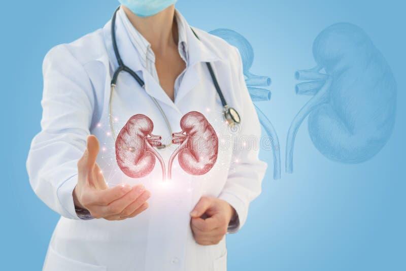 Urologen visar en skissa av den mänskliga njuren arkivbilder