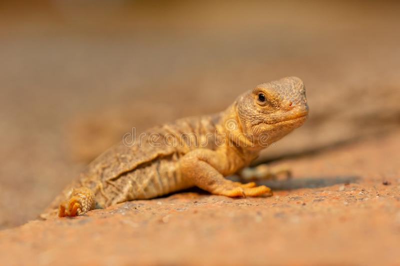 Uromastyx princeps or spiny-tailed lizard. Young Uromastyx princeps, commonly known as  spiny-tailed lizard. The species is endemic to the Horn of Africa royalty free stock photos