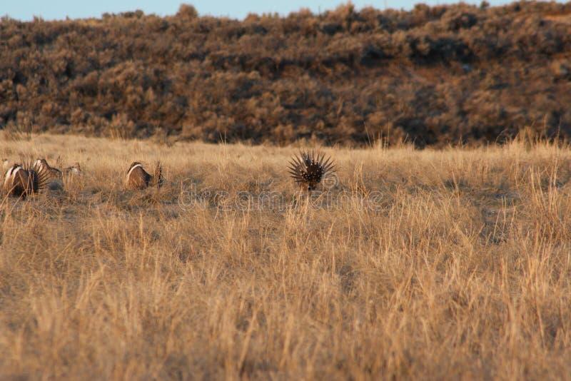 Urophasianus di Sage Grouse Centrocercus fotografia stock