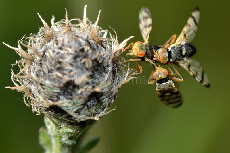 Urophora jaceana galls flies mating on host plant royalty free stock photos