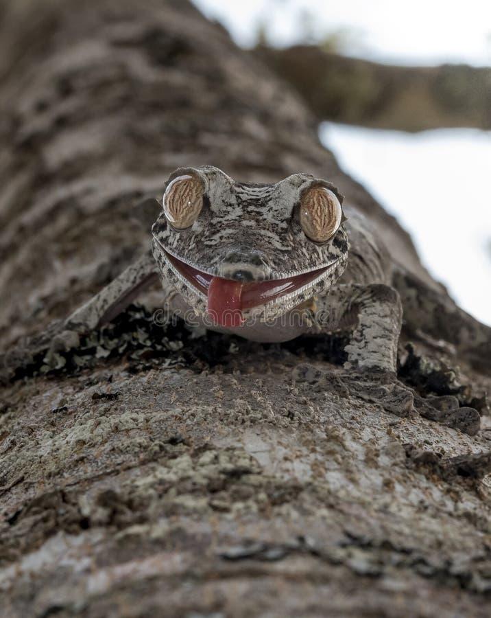Uroplatus-Gecko, Madagaskar stockbilder