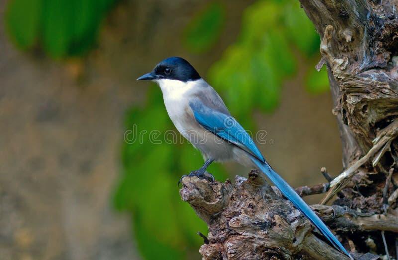 urraca Azul-coa alas fotografía de archivo libre de regalías