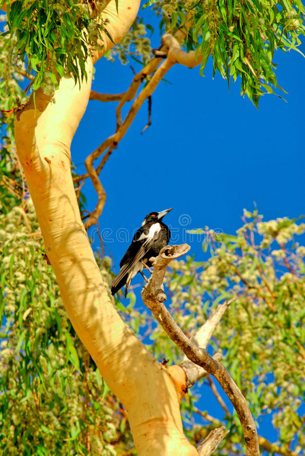 Urraca en el árbol de goma 2 fotos de archivo