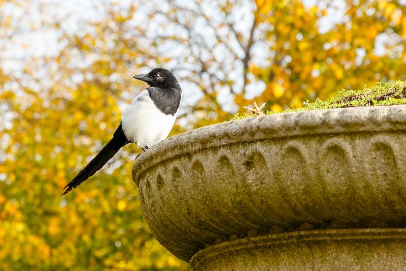 Urraca eurasiática hermosa que se encarama en un pote de la planta de piedra en Regent's Park de Londres fotografía de archivo libre de regalías