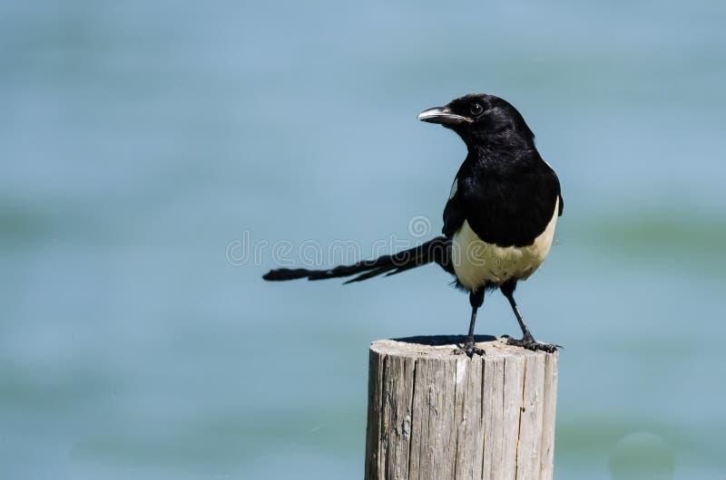 Urraca Negro-cargada en cuenta encaramada en la cerca de madera Post imagenes de archivo