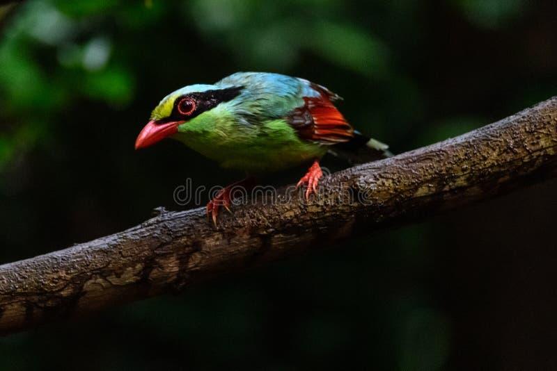 Urraca verde com?n de color verde oscuro fotografía de archivo
