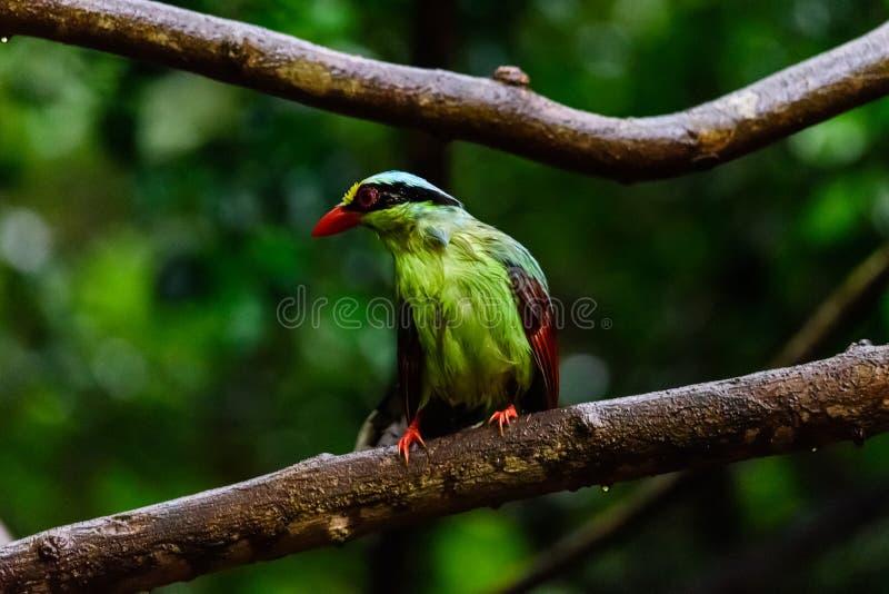 Urraca verde com?n de color verde oscuro imagen de archivo libre de regalías