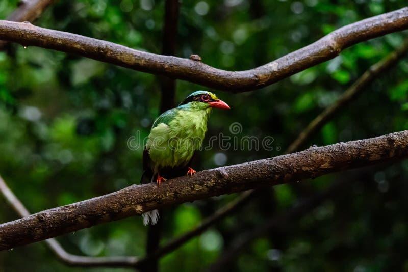 Urraca verde com?n de color verde oscuro foto de archivo libre de regalías