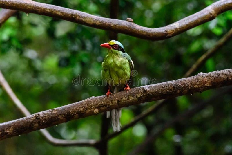 Urraca verde com?n de color verde oscuro fotografía de archivo libre de regalías