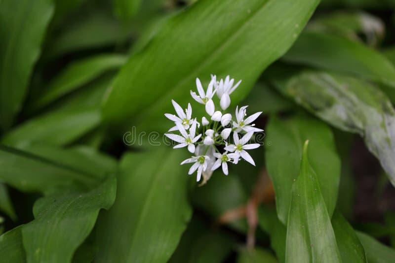 Ursinum лукабатуна одичалого чеснока или ramsons стоковые изображения