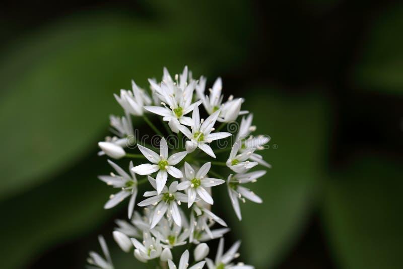 Ursinum лукабатуна одичалого чеснока или ramsons стоковое фото rf