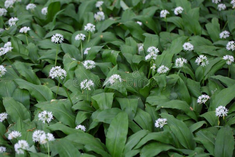 Ursinum лукабатуна одичалого чеснока или ramsons стоковые фото