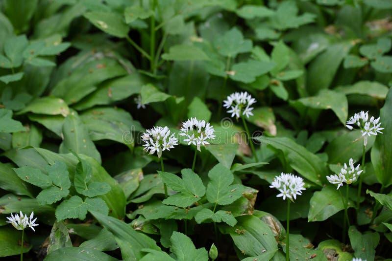 Ursinum лукабатуна одичалого чеснока или ramsons стоковые фотографии rf