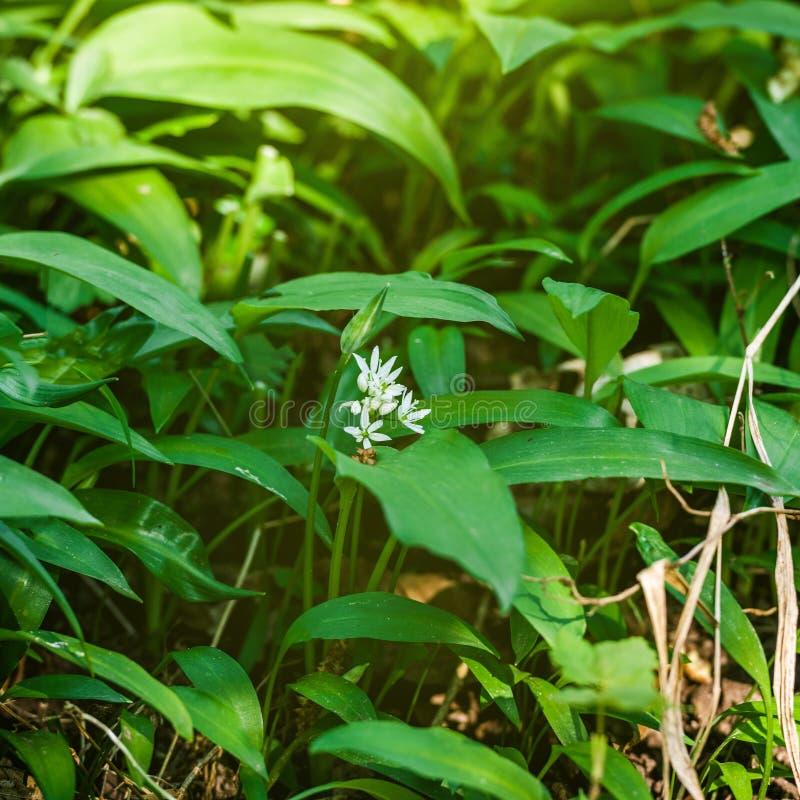 Ursinum del allium del ajo salvaje en bosque de la primavera foto de archivo libre de regalías
