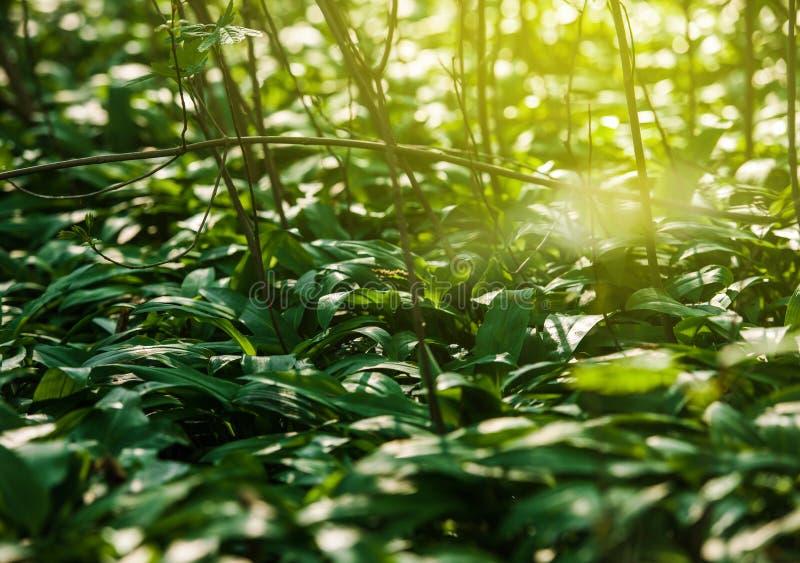 Ursinum del allium del ajo salvaje en bosque de la primavera imagen de archivo libre de regalías