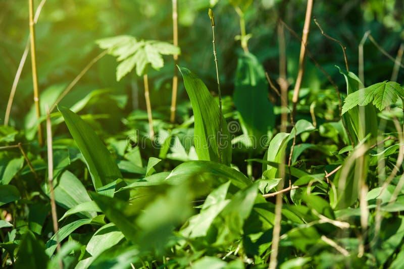 Ursinum del allium del ajo salvaje en bosque de la primavera imagen de archivo