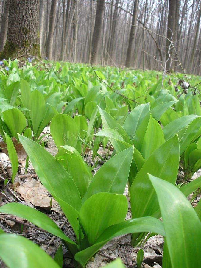 Ursinum do Allium imagem de stock royalty free