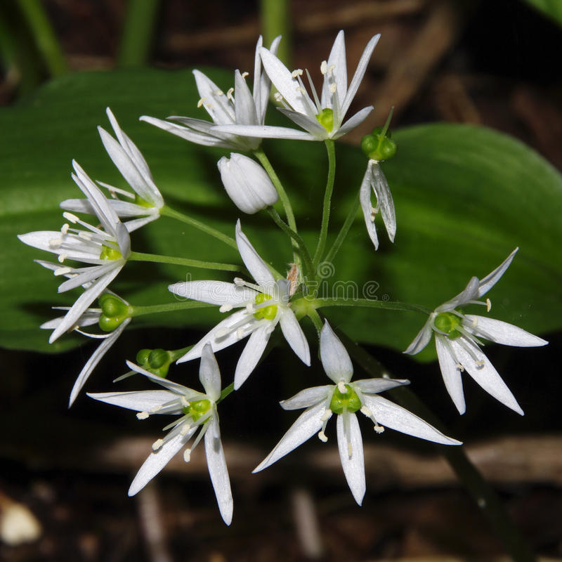 Ursinum/ramsons do Allium foto de stock royalty free