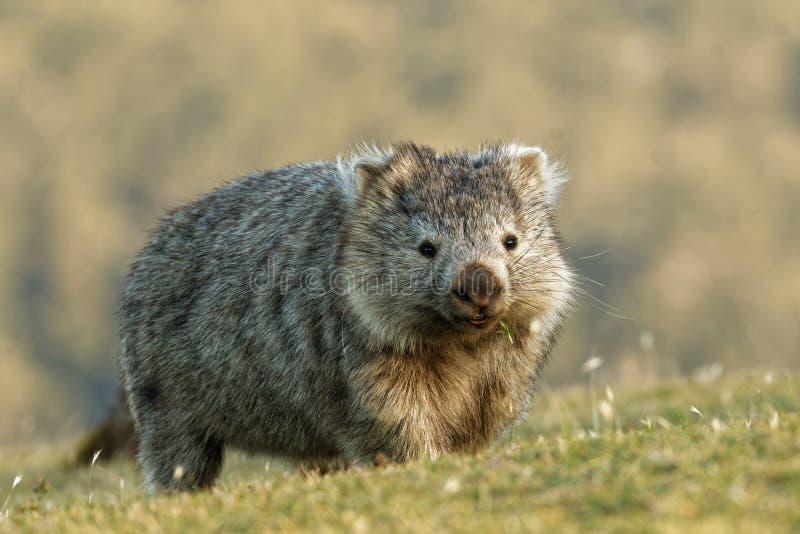 Ursinus de Vombatus - wombat común en el paisaje tasmano, comiendo la hierba por la tarde en la isla cerca de Tasmania fotografía de archivo libre de regalías