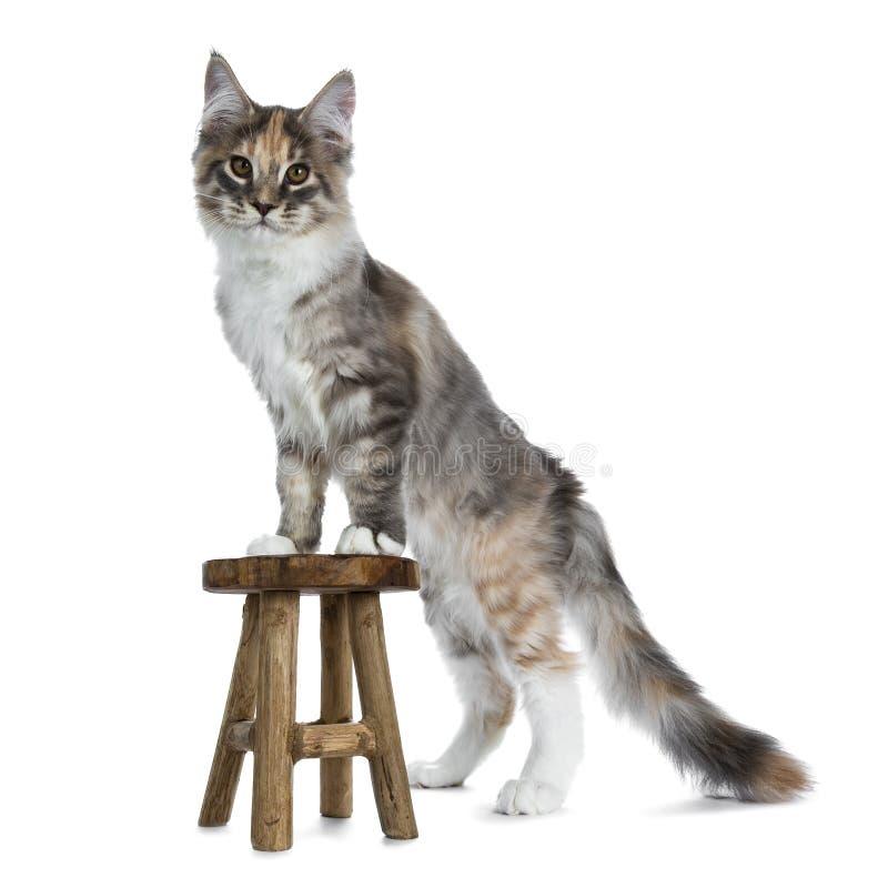Ursnygg blå strimmig katttortieMaine Coon katt på vit bakgrund arkivbild