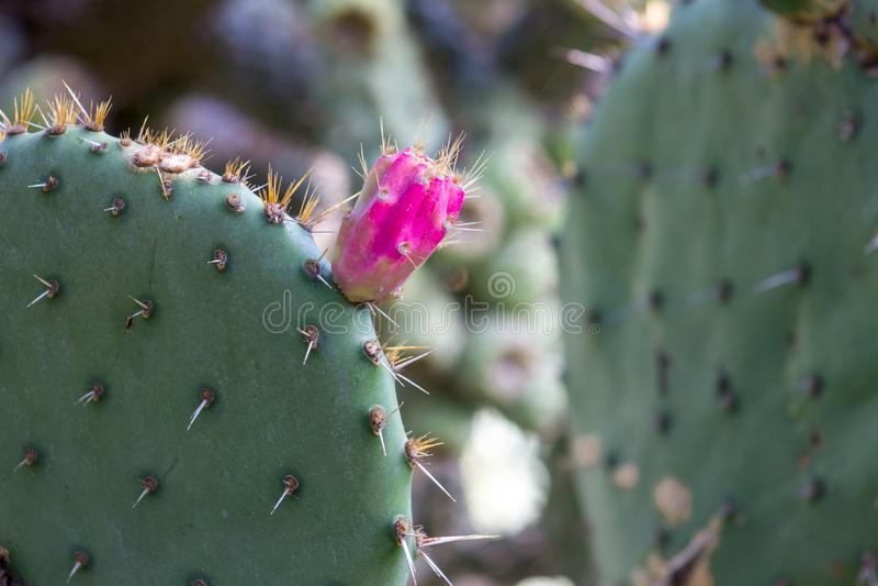 Ursnygg blommande kaktus för taggigt päron, den statliga blomman av Texas, närbild royaltyfri fotografi