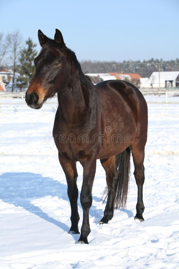 Ursnygg brun häst i vinter fotografering för bildbyråer