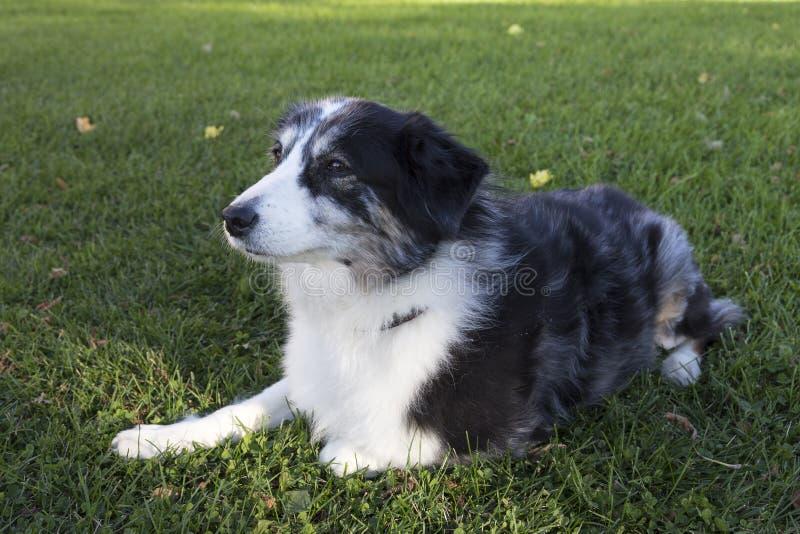 Ursnygg brun synad grå och vit australisk herde som ner ligger på gräsmatta royaltyfri fotografi