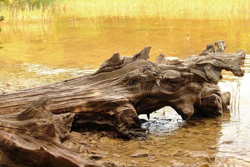 Ursnygg drivvedkant av sjön royaltyfria foton