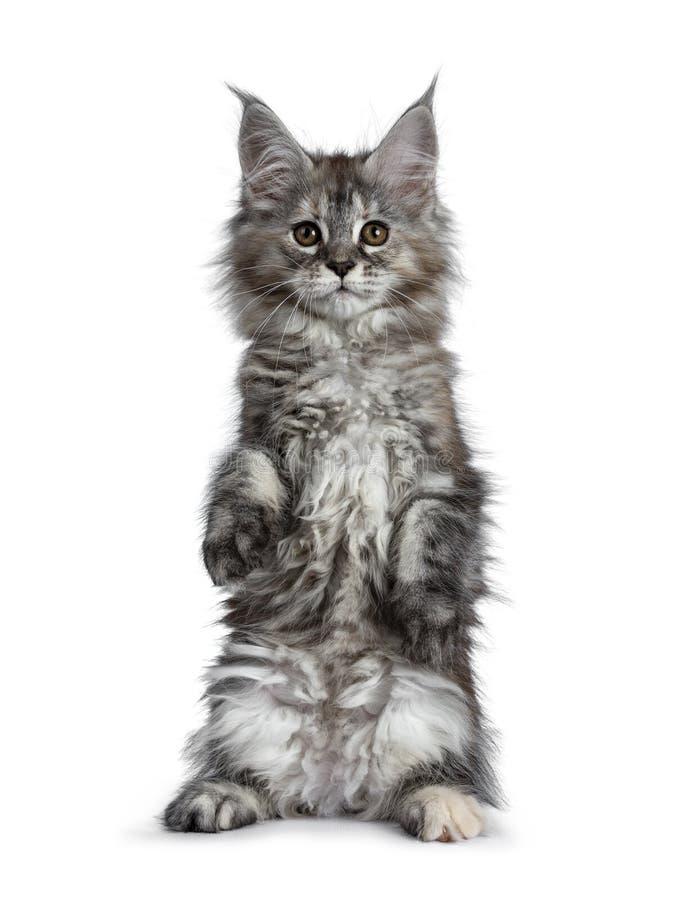 Ursnygg gullig Maine Coon kattkattunge som isoleras på vit bakgrund arkivfoto