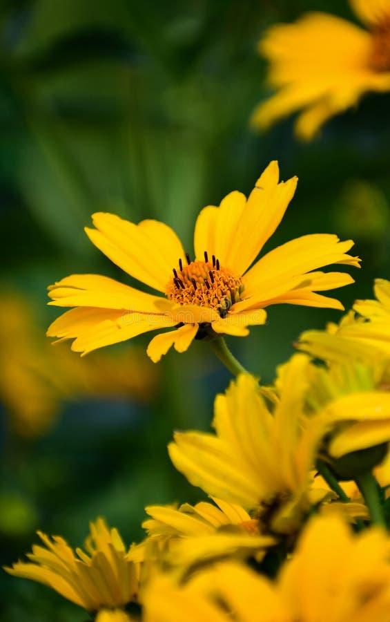 Ursnygg ljus gul tusensköna i mitt med ramen av Daisys runt om den ljus bakgrund - green arkivfoton