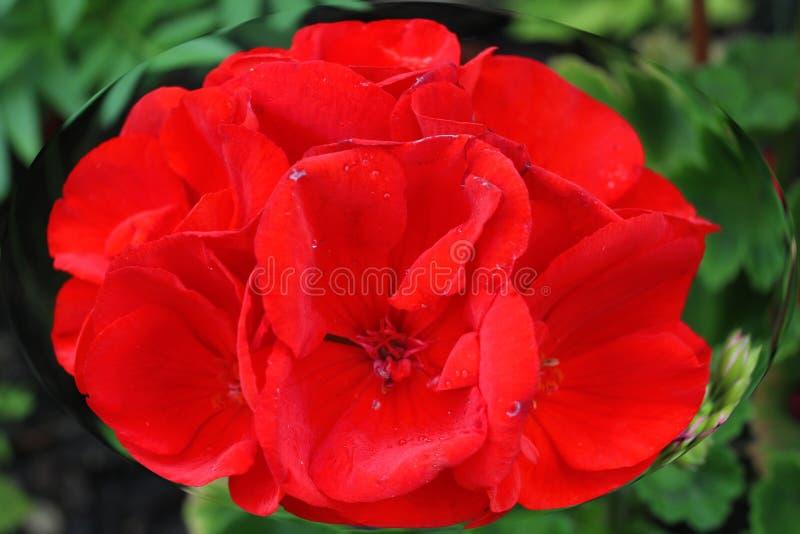 Ursnygg röd blomma i ellips i natur! royaltyfria bilder