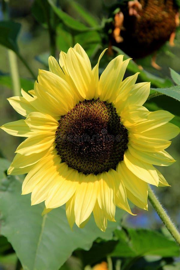 Ursnygg solros i solig äng arkivfoto