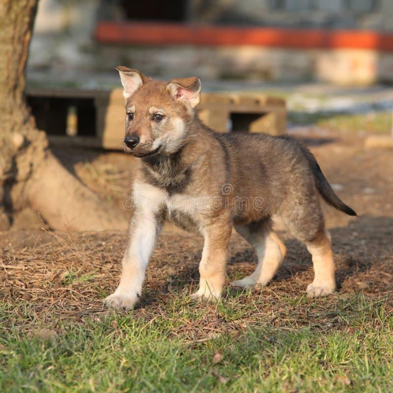 Ursnygg valp av wolfdog i vinter royaltyfria foton